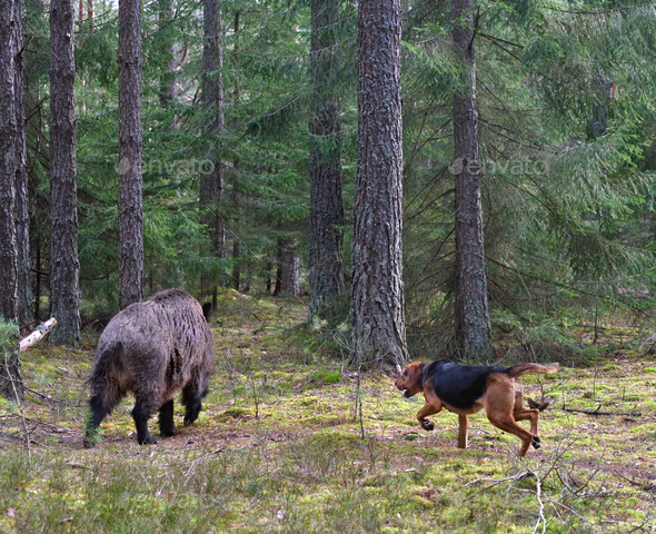 Hunting dog attack wild boar - Stock Photo - Images