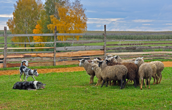 Sheep dog training - Stock Photo - Images