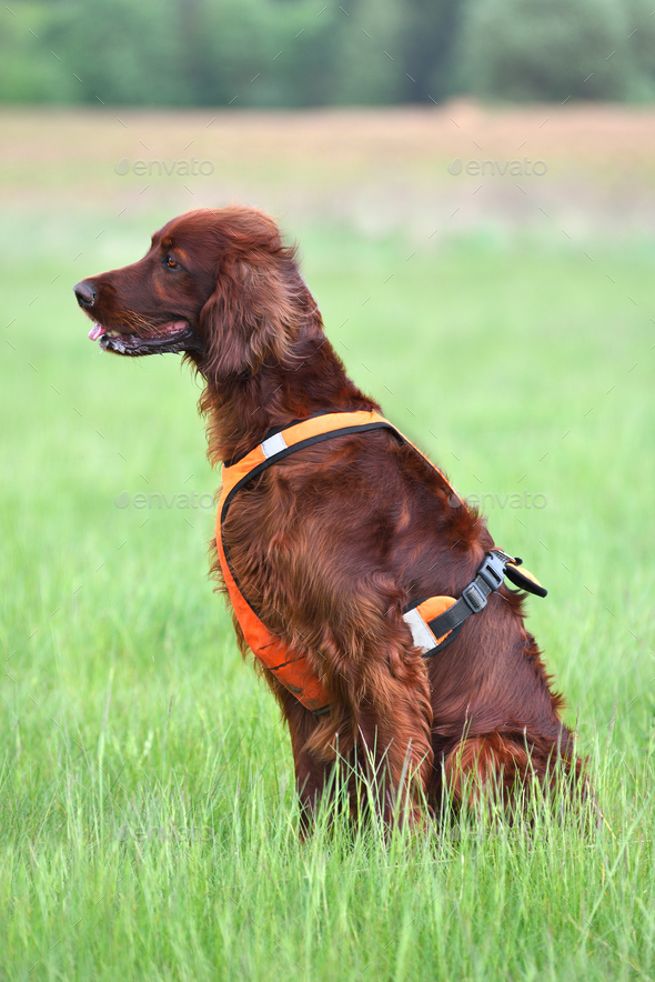 Hunting with setter - Stock Photo - Images