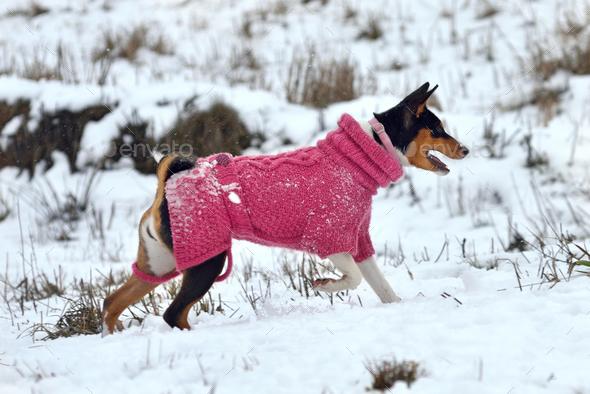 Basenji dog - Stock Photo - Images