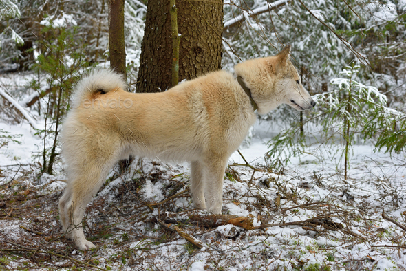 Hunting Siberian Laika - Stock Photo - Images