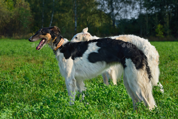 Two Borzoi dogs - Stock Photo - Images