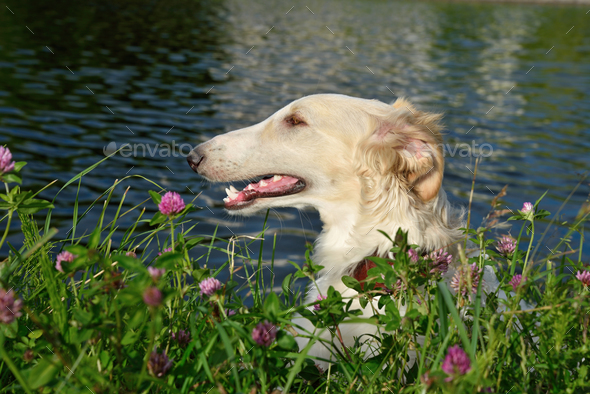 Portrate of russian borzoi - Stock Photo - Images