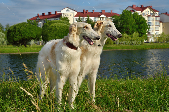 Two russian wolfhounds - Stock Photo - Images