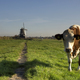Cow in a meadow near Westzaan - PhotoDune Item for Sale