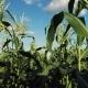 Inside the Ripe Corn Field - VideoHive Item for Sale