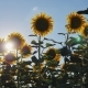 Walking Through a Sunflower Field on a Sunset - VideoHive Item for Sale
