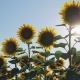 Walking Thru a Sunflower Field on a Sunset - VideoHive Item for Sale