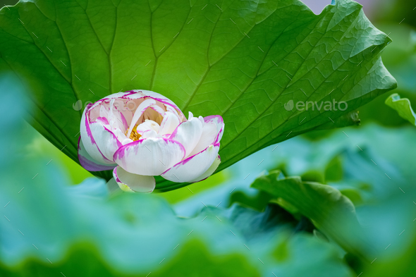 beautiful lotus flower in full bloom - Stock Photo - Images