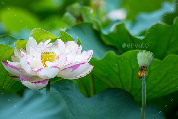 Bright Color Lotus Flower In Full Bloom Stock Photo By Chuyu2014