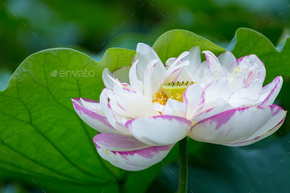 beautiful lotus flower in bloom, summer landscape closeup - Stock Photo - Images