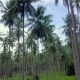 Flying Through Coconut Palm Tree Grove in Thailand - VideoHive Item for Sale