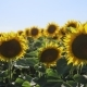 Walking Thru a Sunflower Field on a Sunset. - VideoHive Item for Sale