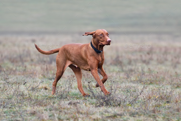 Hungarian Pointer - Stock Photo - Images