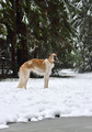 Russian borzoi dog - PhotoDune Item for Sale