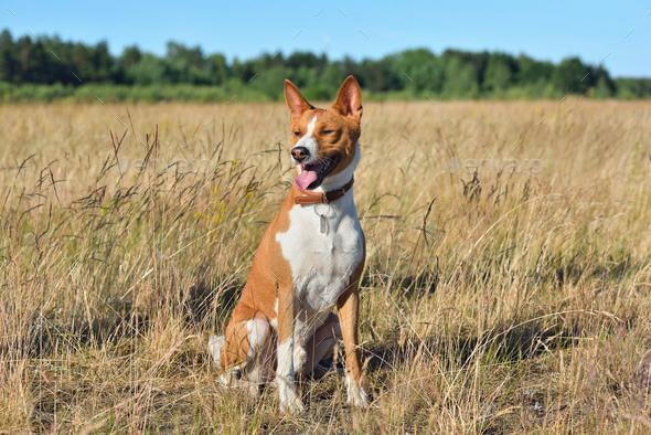 Basenji or African Bush Dog - Stock Photo - Images