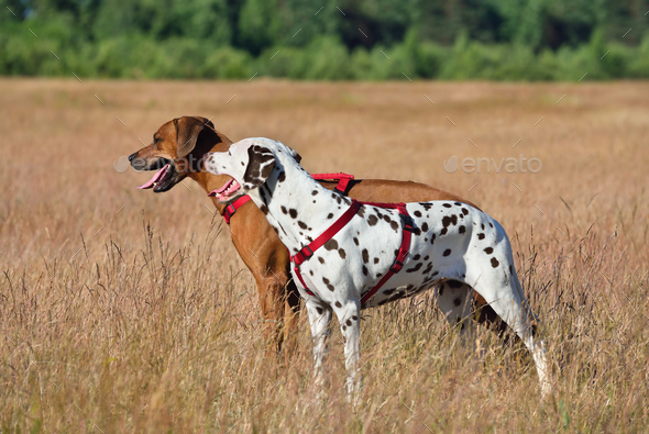 Two dogs on a field - Stock Photo - Images