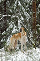 Russian wolfhound dog - PhotoDune Item for Sale