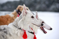 Hunting with russian wolfhounds - PhotoDune Item for Sale