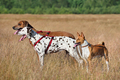 Three dogs on a field - PhotoDune Item for Sale