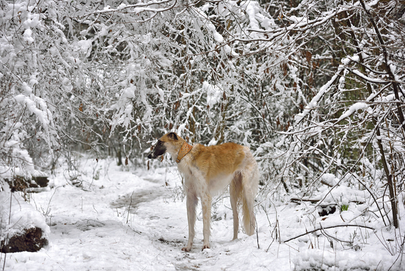 Yellow russian wolfhound - Stock Photo - Images