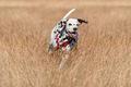 Running Dalmatian dog - PhotoDune Item for Sale