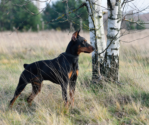 Tan-and-black German Pinscher - Stock Photo - Images
