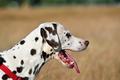 Dalmatian dog - PhotoDune Item for Sale