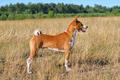 Basenji or African Bush Dog - PhotoDune Item for Sale