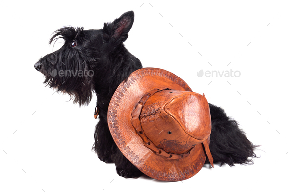 Sitting  scotch terrier - Stock Photo - Images