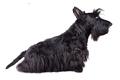 Scotch terrier - PhotoDune Item for Sale