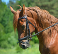 Head of bay horse - PhotoDune Item for Sale