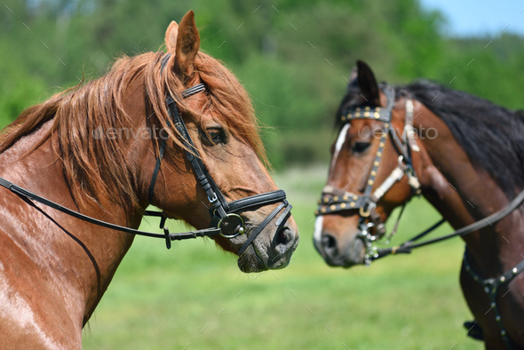 Portrait of two horses - Stock Photo - Images