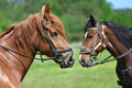 Portrait of two horses - PhotoDune Item for Sale