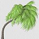 Curly Palm Tree - VideoHive Item for Sale