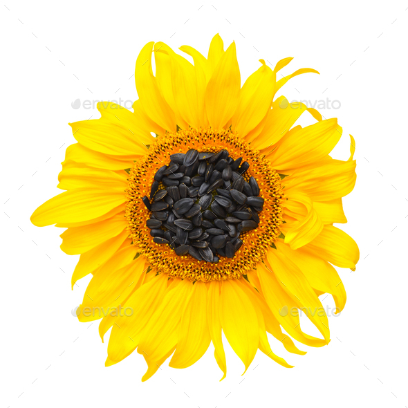 Yellow sunflower and sunflower seeds on a white background. Top - Stock Photo - Images