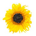 Yellow sunflower and sunflower seeds on a white background. Top - PhotoDune Item for Sale