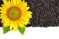 Yellow sunflower and sunflower seeds on a white background with - PhotoDune Item for Sale