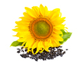 Yellow sunflower and sunflower seeds on a white background - PhotoDune Item for Sale