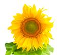 Sunflower isolated on white background - PhotoDune Item for Sale
