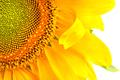 Sunflower flower close up - PhotoDune Item for Sale