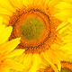 Panorama pattern flowers sunflower - PhotoDune Item for Sale