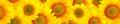 Panorama pattern flowers sunflower - PhotoDune Item for Sale