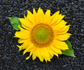 Sunflower with seeds. Top view - PhotoDune Item for Sale