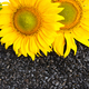 Two sunflower with seeds as background - PhotoDune Item for Sale