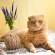 Funny scottish fold cat with a ball of threads - PhotoDune Item for Sale