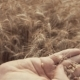 of of Woman's Hand Touching Golden Wheat Field. Girl's Hand Touching Wheat Ear . - VideoHive Item for Sale