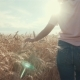 Woman's Hand Running Through Organic Wheat Field, Steadicam Shot. . Sun Lens Flare. Girl's Hand - VideoHive Item for Sale
