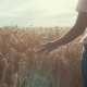 of Woman's Hand Running Through Organic Wheat Field, Steadicam Shot. Sun Lens Flare. Girl's Hand - VideoHive Item for Sale