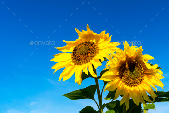 Two yellow sunflowers over blue sky, copy space - Stock Photo - Images